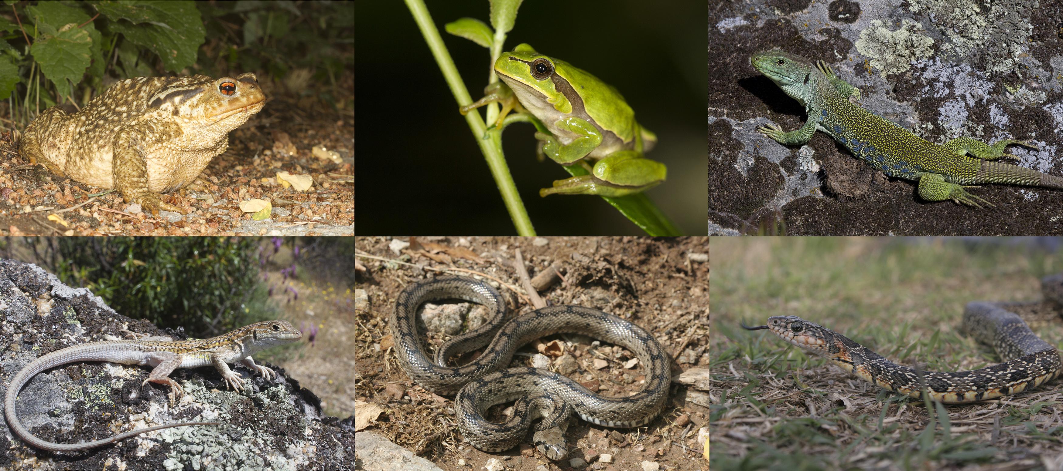 Anfibios y reptiles ibéricos: un tesoro biogeográfico lleno de endemismos.